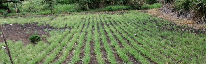 Medios de vida sostenibles: el huerto familiar y sus aportes a la seguridad alimentaria de las comunidades indígenas de Ocosingo, Chiapas.